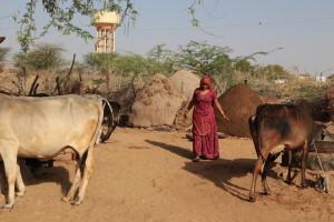 Ashram in Indien Bei den heiligen Kühen