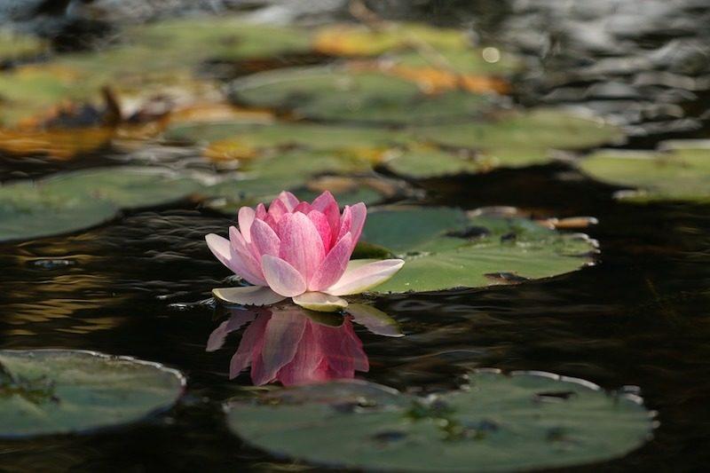 Buddhismus westliche Welt Lotusbluete